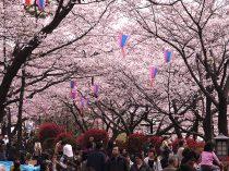 飛鳥山公園の桜