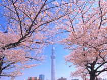 隅田公園桜まつり|2019|台東区